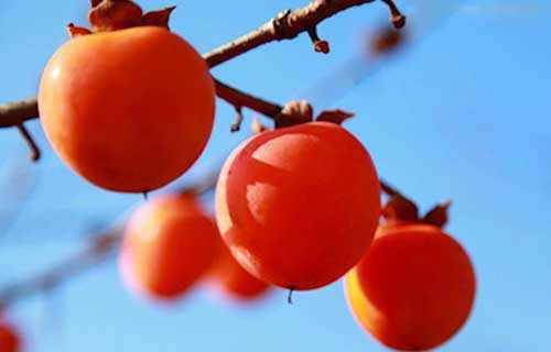 柿子的功效与作用及副作用