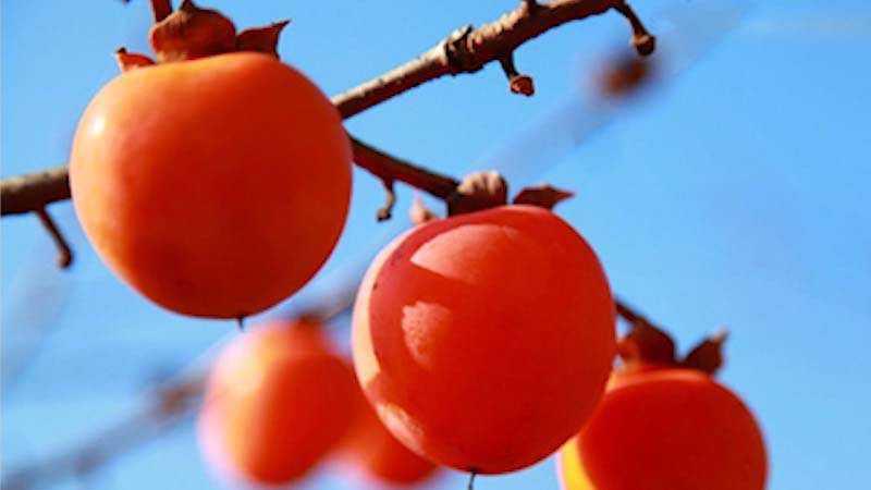 吃柿子有什么好处