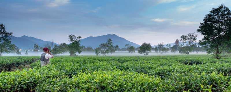 金駿眉屬于什么茶