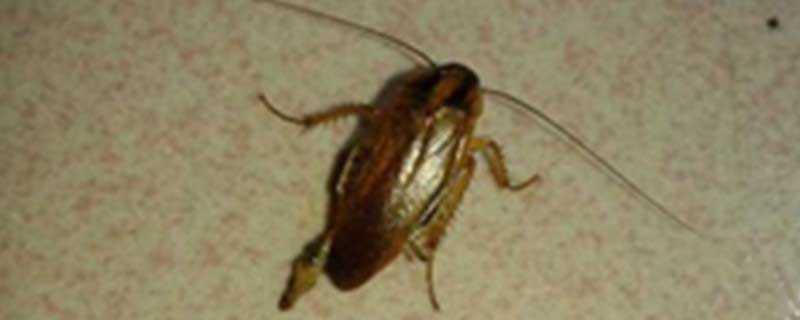 怎么把蟑螂引出来
