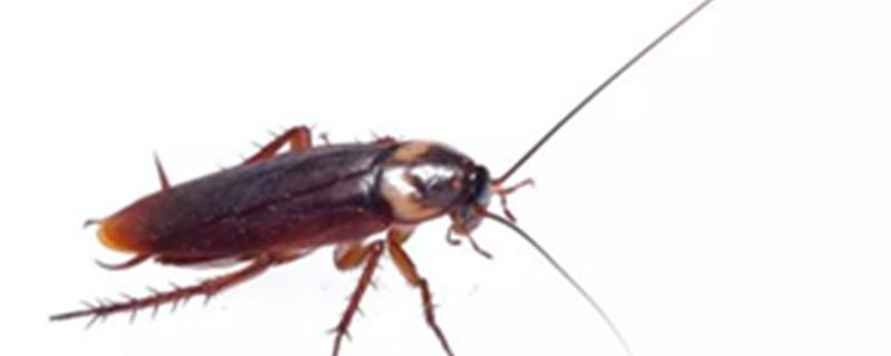 怎么防止蟑螂爬到床上