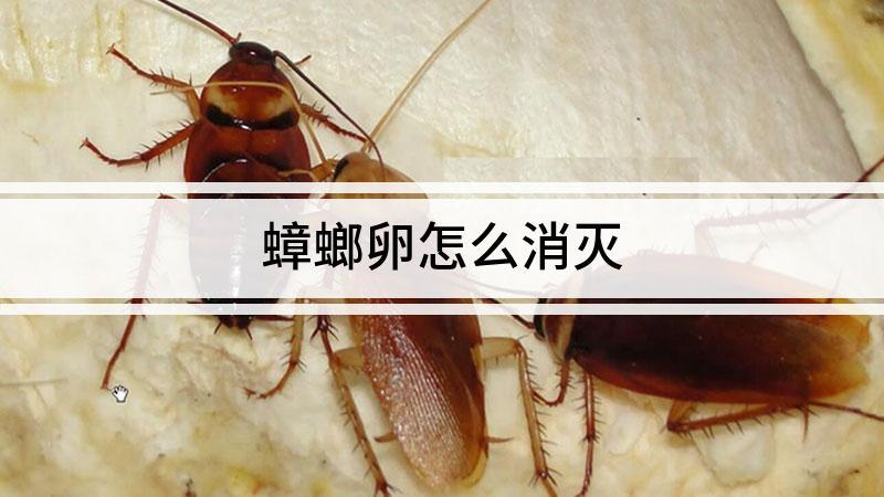 蟑螂卵怎么消灭