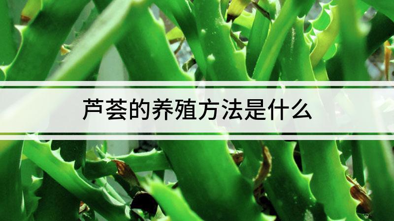 芦荟的养殖方法是什么