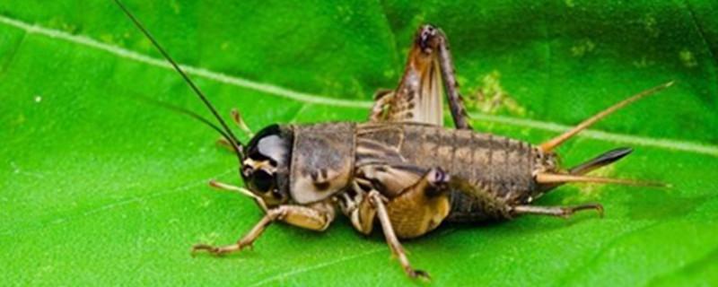 油葫芦和蟋蟀的区别