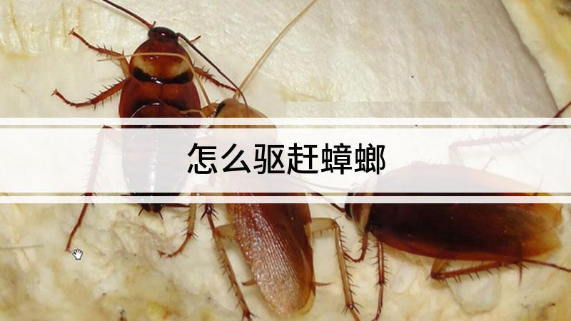 怎么驱赶蟑螂