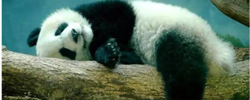 大熊猫有冬眠的习性吗