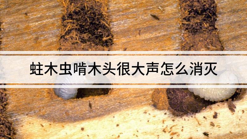 蛀木虫啃木头很大声怎么消灭